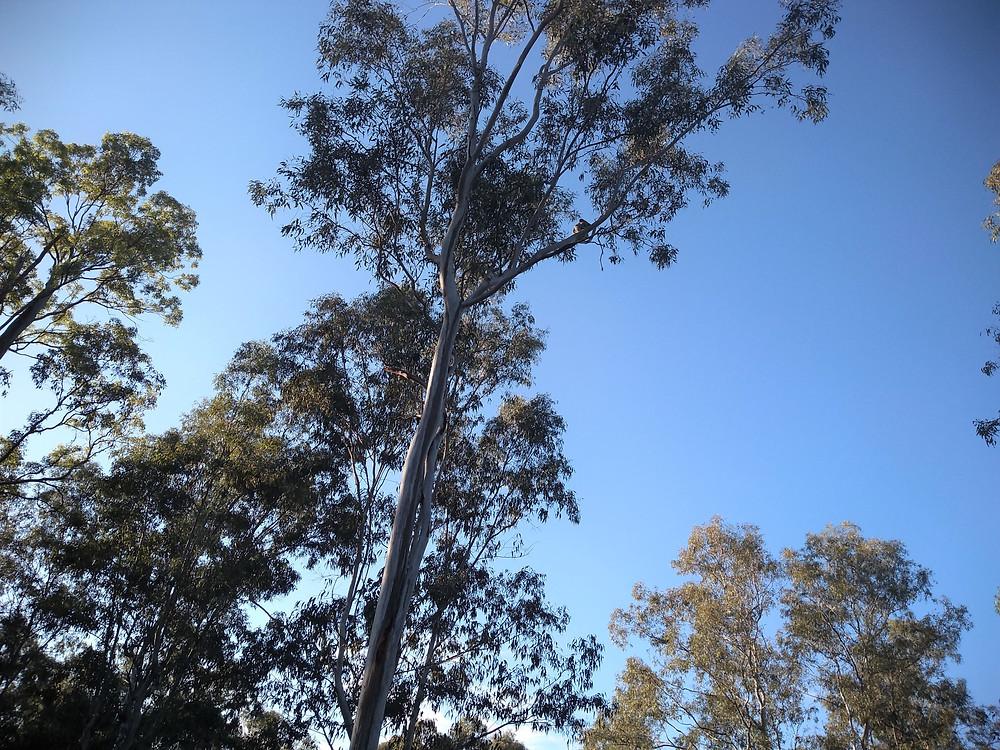 Koala high in tree