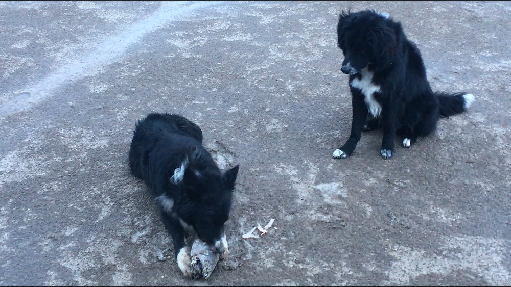 Perro Joven de 1 año respetando el manjar de su compañero.