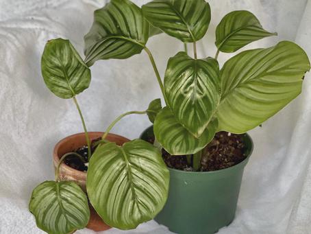 Calathea Orbifolia: The Worthy Calathea