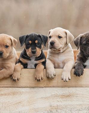 Kopie von American staffordshire terrier