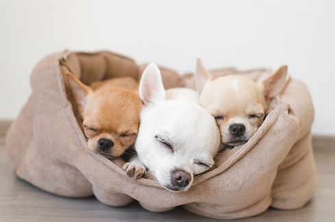 Closeup of three lovely, cute domestic breed mammal chihuahua puppies friends lying, relax