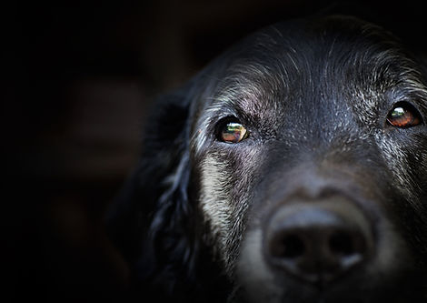 Animal - Old dog. labrador retriever macro shot..jpg