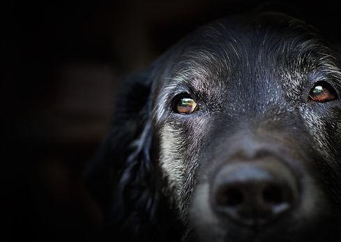 Animal - Old dog. labrador retriever mac