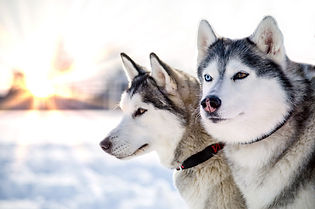 Two Siberian Husky dogs looks around. Hu