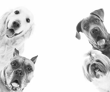 Dogs isolated on white_edited.jpg
