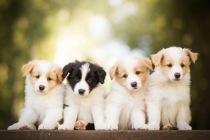 adorable portrait of four sweet healthy and happy border collie puppies group litter in th