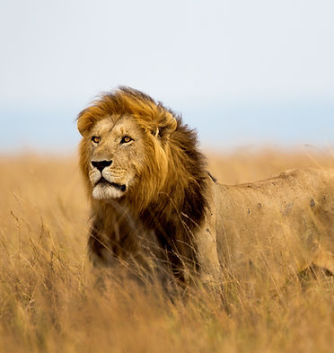 Mighty%20Lion%20watching%20the%20lioness