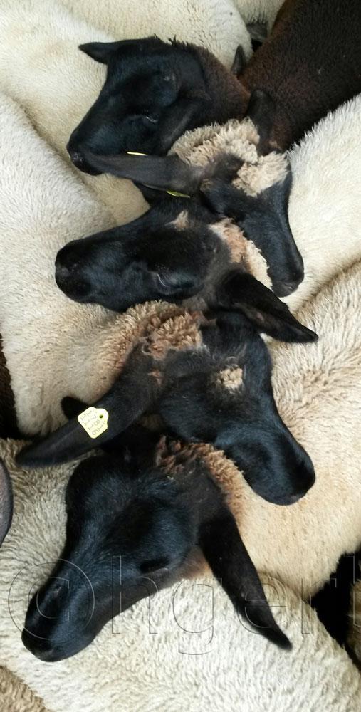 Schaf Verschluss
