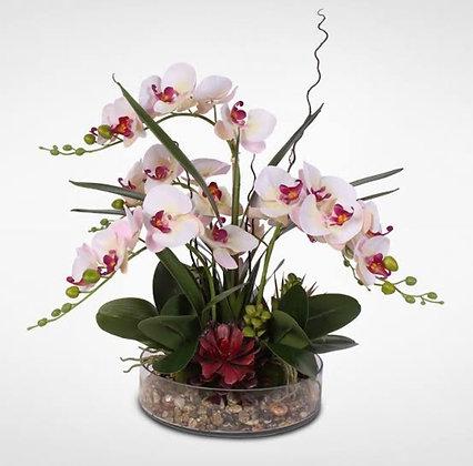 Phalaenopsis 5