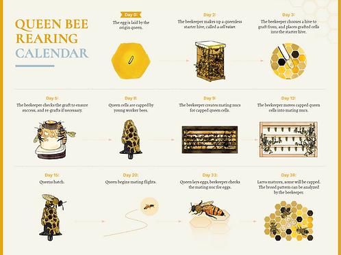 Queen Bee Rearing Calendar (DIGITAL)