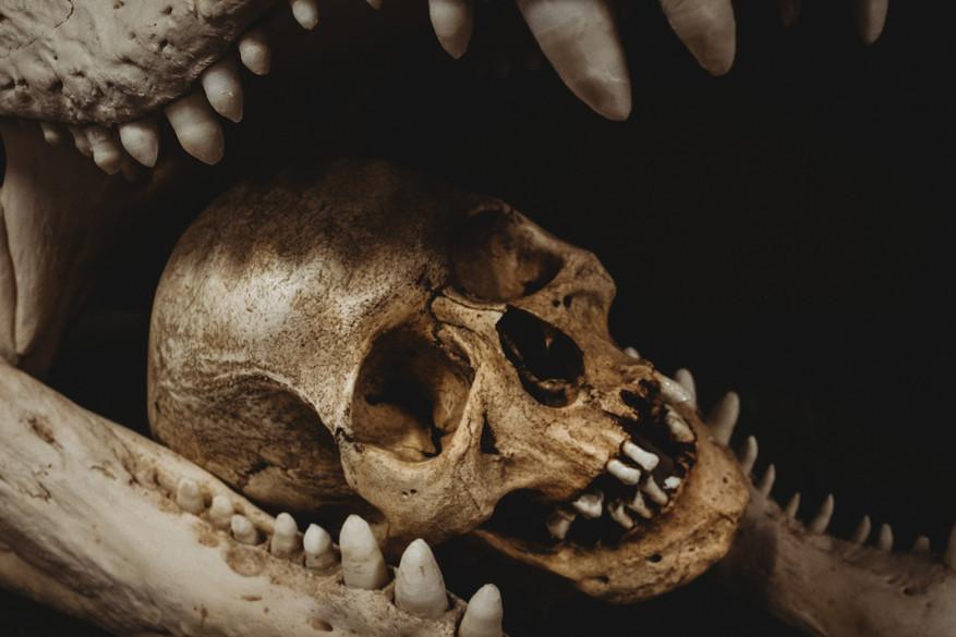 Human skull in a crocodile jaw.