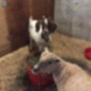 goat and sheep.jpg