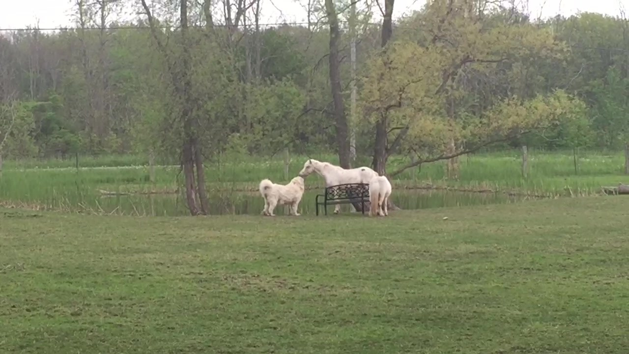 """A few weeks ago; Eligh and Folklore are having another conversation about which young, cocky male rules the front pasture. Fable is just like, """"enough already there's a patch of clover !"""" #rescuedog #rescuehorse #males #farmsanctuary #freetobe #niaga"""