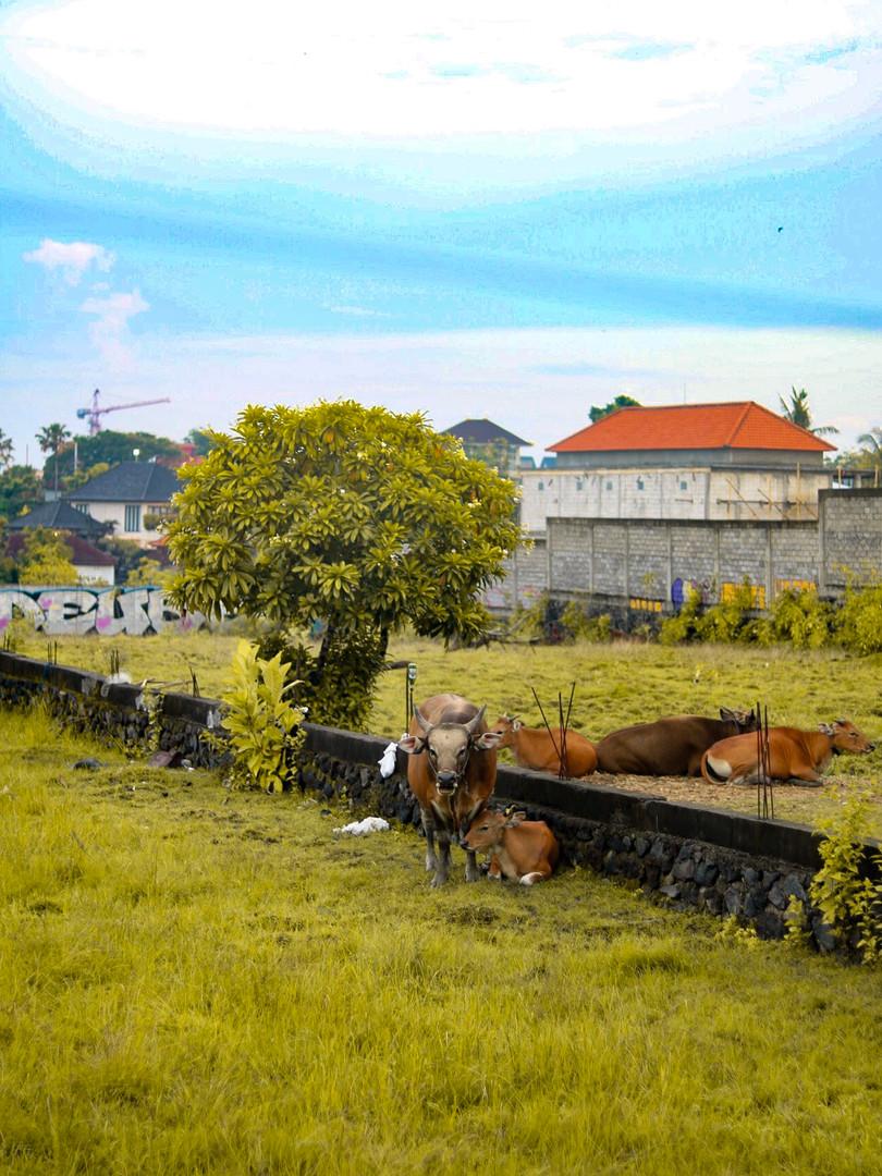 Bali cows