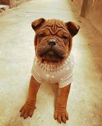 Chongqing Dog Puppy