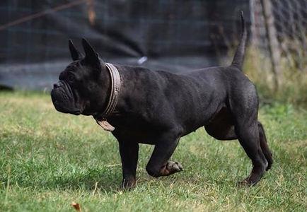 Black Chongqing dog male