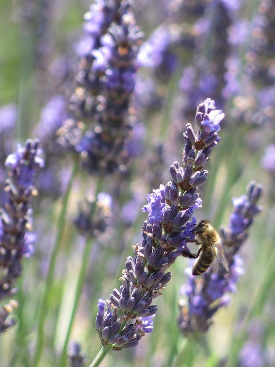 Lavandin en fleur  (7).JPG
