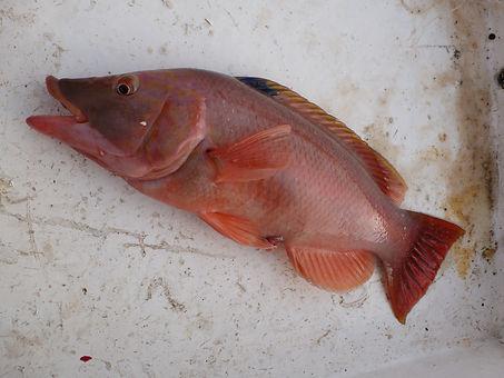 Barred Hogfish - êche au Cap Vet - BIBITONIC r -286