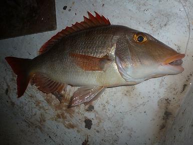 Lethrinus Atlanticus - Pêche Cap Vert - BIBITONIC r-286