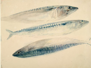 J.M.W Turner, drawing of three mackerel (1818)