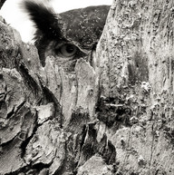 Great Horned Owl Peakaboo.jpeg