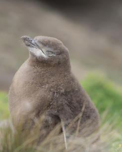 Yellow Eyed Penguin Chick