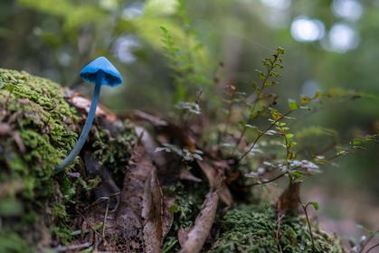Blue Entoloma