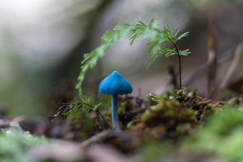 A young blue Entoloma