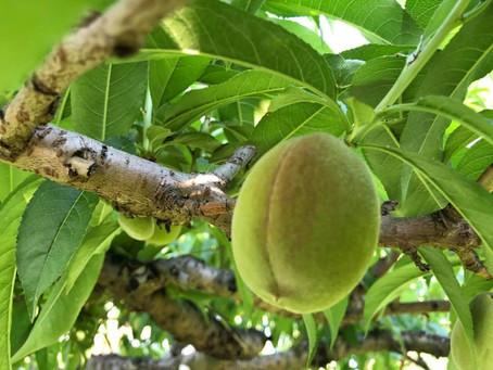 2018.6月:桃の実がすこしずつ大きくなってきました!