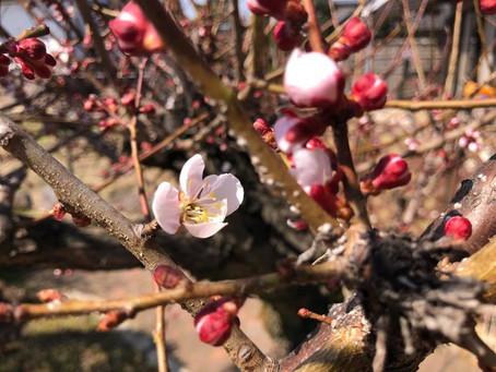 2018.3月:梅の花が咲いた!