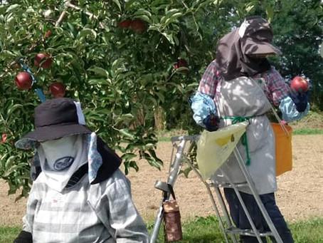 りんごの収穫がスタートしました!