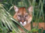 Florida Panther Photo