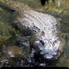 160sq-Gator.png