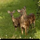 160sq-Deer.png