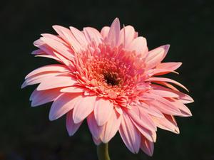 Pink Gerber Daisey