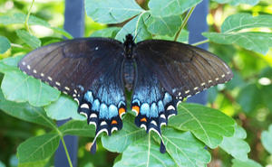 Blue & Black Butterfly