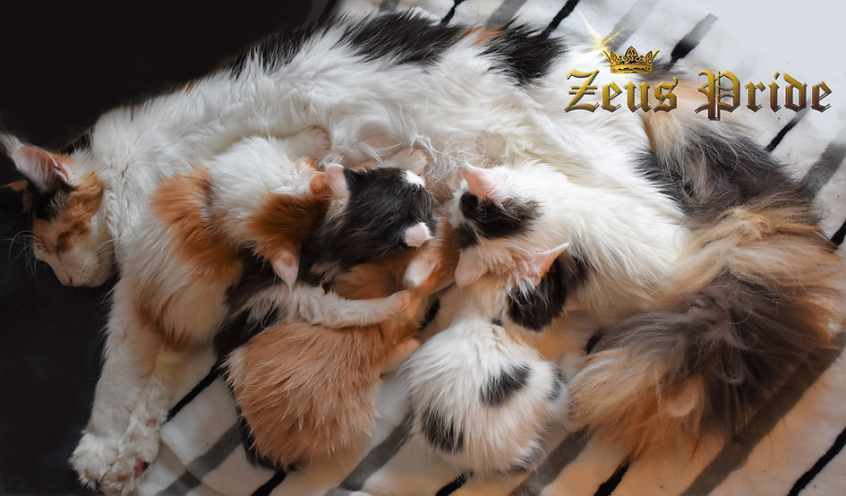 Maine Coon cat nursing Zeus Pride