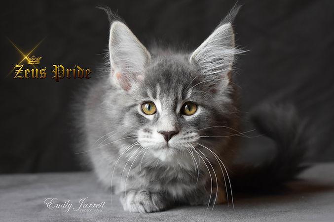 Blue Tabby Maine Coon Kitten Zeus Pride