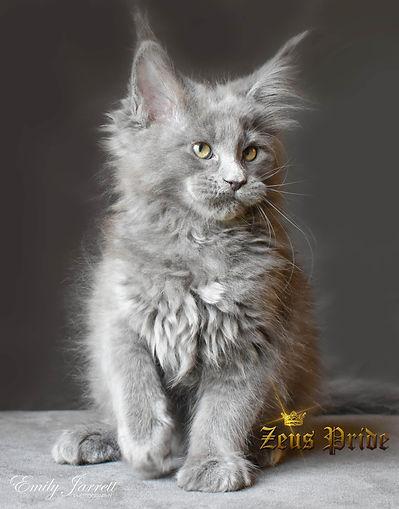 Blue Gray Maine Coon kitten Zeus Pride