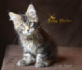 Maine Coon Kitten Classic Tabby