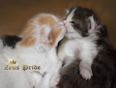 newborn maine coon kittens