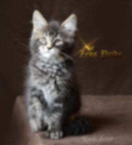 Maine Coon Kitten Zeus Pride Tabby