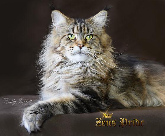 Classic Tabby Maine Coon Zeus Pride