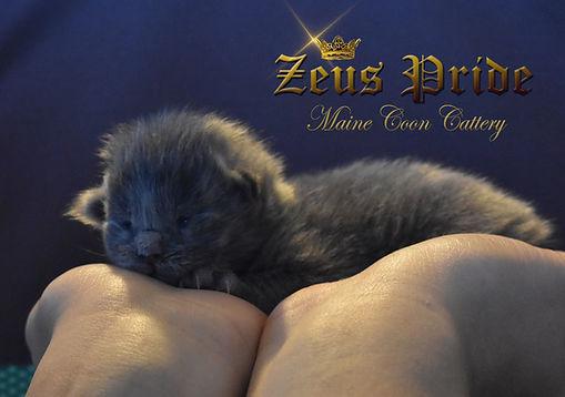 new born Maine Coon Kitten Zeus Pride