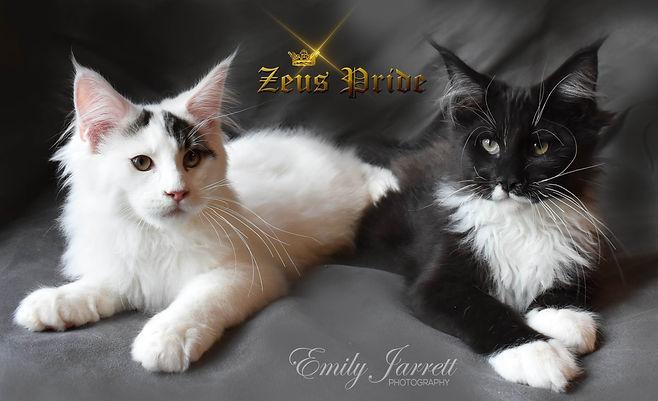 tuxedo and van maine coon kittens