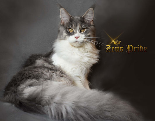 blue gray and white mane coon