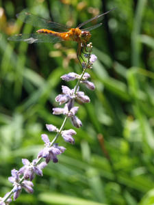 Sage and Dragonfly
