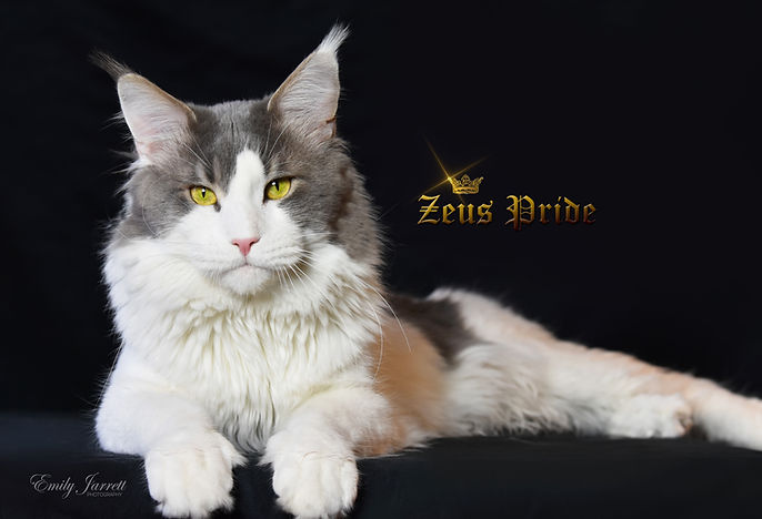 Blue or Gray an White Maine Coon Zeus Pride