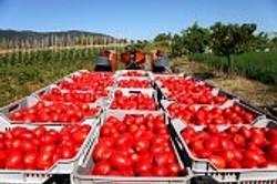 Tomato Processing