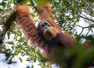The First New Great Ape Species Discovered In 90 Years